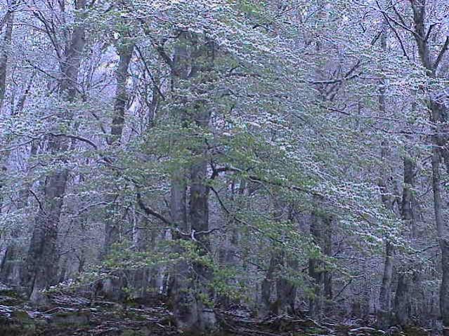 LAS HAYAS VERDEAN AL SALIR EL SOL...junto con la nieve...estamos en mayo de 2002