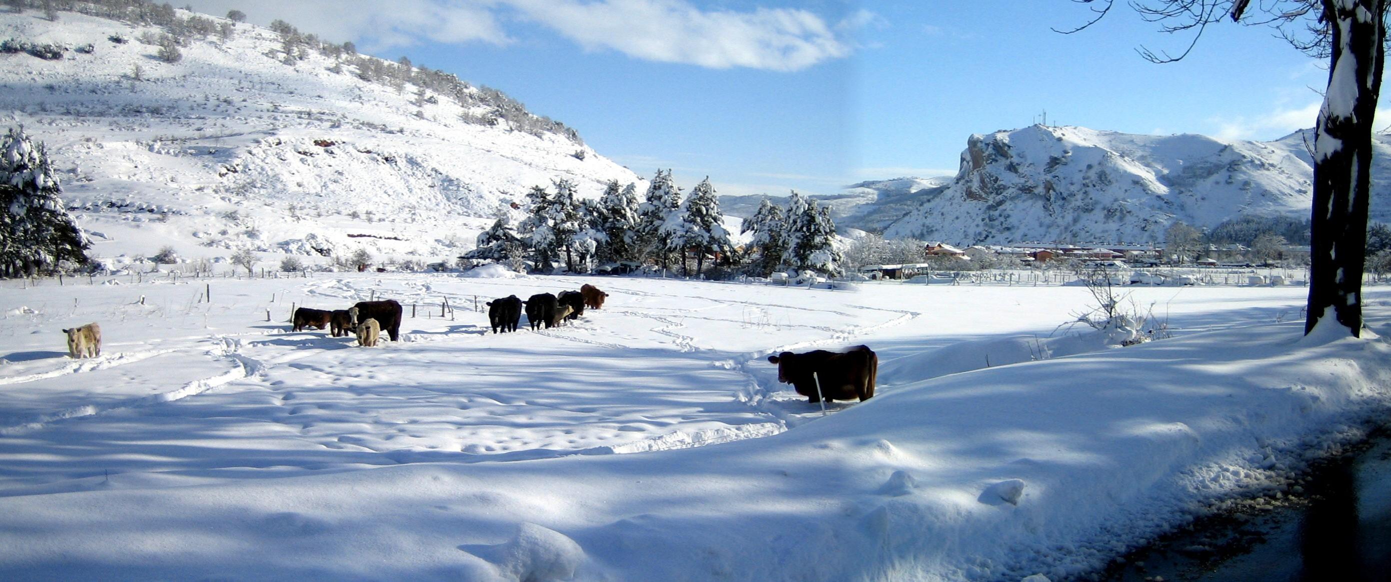 Y AQUI UNAS VACAS PASTANDO EN UN PRADO NEVADO...con vista a la picota de San Torcuato...un marzo de 2007